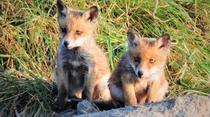 Gespot: schattige vossenwelpjes nabij de Spuikom