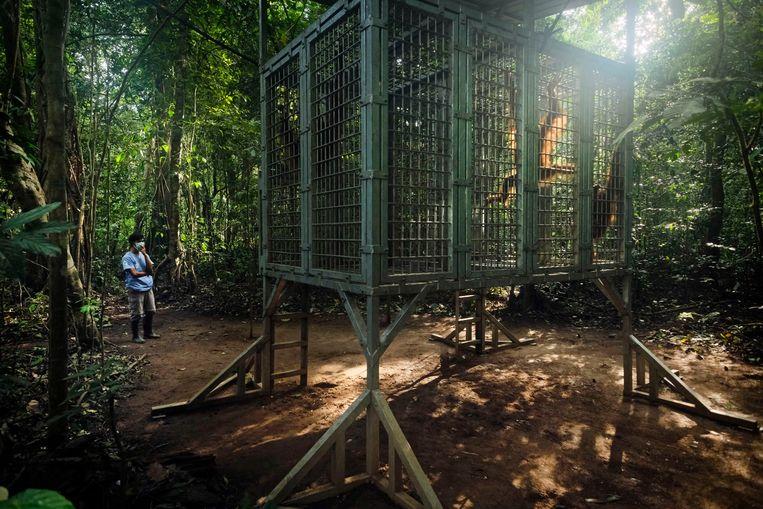 Kooien helpen om orang-oetans na een lange verzorging weer te laten wennen aan het oerwoud.Overdag mogen ze er onder supervisie uit, 's nachts gaan ze er weer in.  Beeld © Alain Schroeder