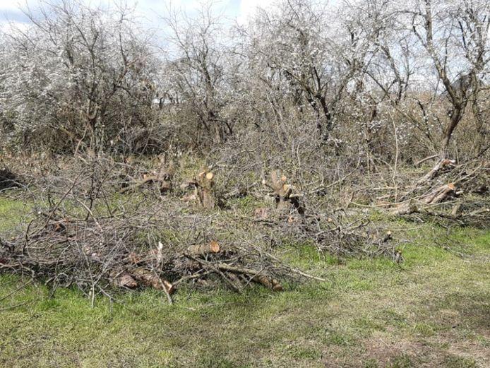 Deze week werden er bomen gekapt en gesnoeid in de boomgaard aan de Oudendijk in Dordrecht.