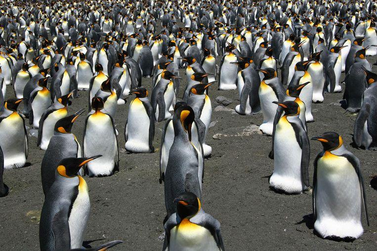 De pinguïn, de belangrijkste bevolkingsgroep van de Falklandeilanden. Of toch niet? Beeld AFP