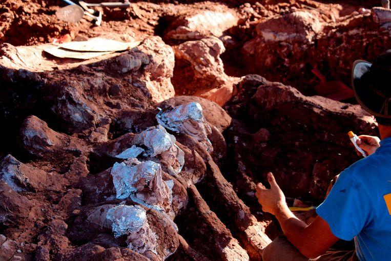De versteende botresten waar de paleontologen op stuitten, zijn wel 10 tot 20 procent groter dan dezelfde beenderen van de Patagotitan mayorum, de dinosauriër die tot nog toe te boek staat als het grootste levende landwezen ooit. Beeld AFP