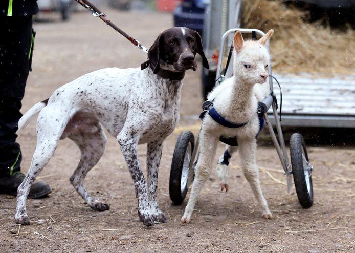 Hond Erco met alpaca Marie.