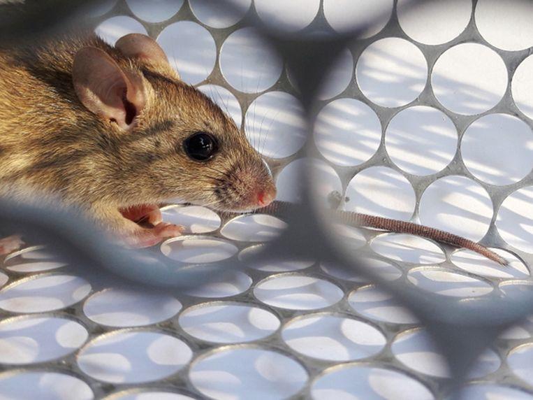 Het Chaparevirus is afkomstig van ratten, die het aan de mens hebben doorgegeven. Beeld Shutterstock