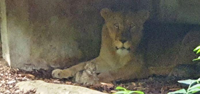De leeuwin heeft welpjes gebaard in Burgers' Zoo.