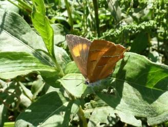 """Ondanks bedreigingen dagvlinders toch Sleedoornpage ontdekt op twee locaties: """"Dankzij aanplanten van hagen en houtkanten"""""""