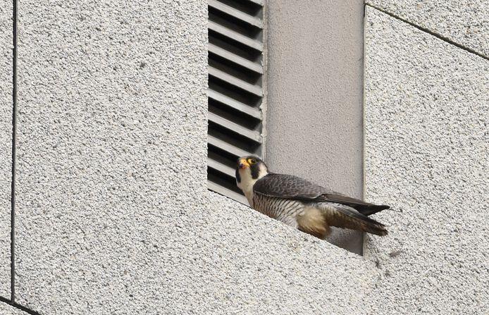 Valk Anton is voortdurend alert of hij met Antonia terug kan de toren van het oude stadhuis van Rijswijk.