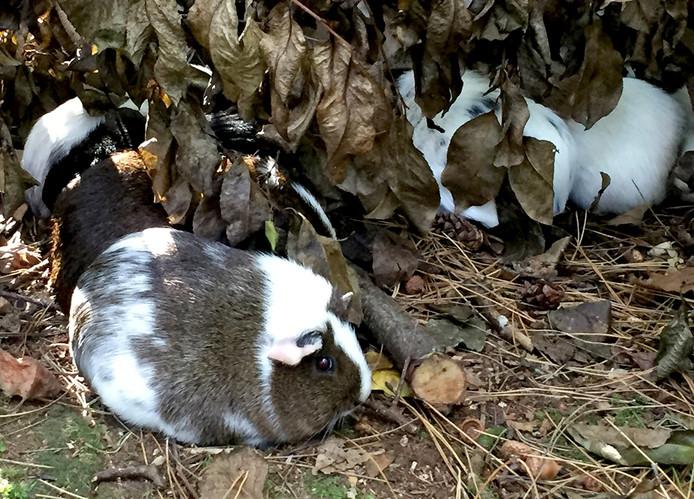 Eerder al werden 17 cavia's gevonden in bos bij Bergen op Zoom.