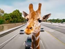 """La girafe de """"Very Bad Trip 3"""" saisie par les autorités californiennes"""