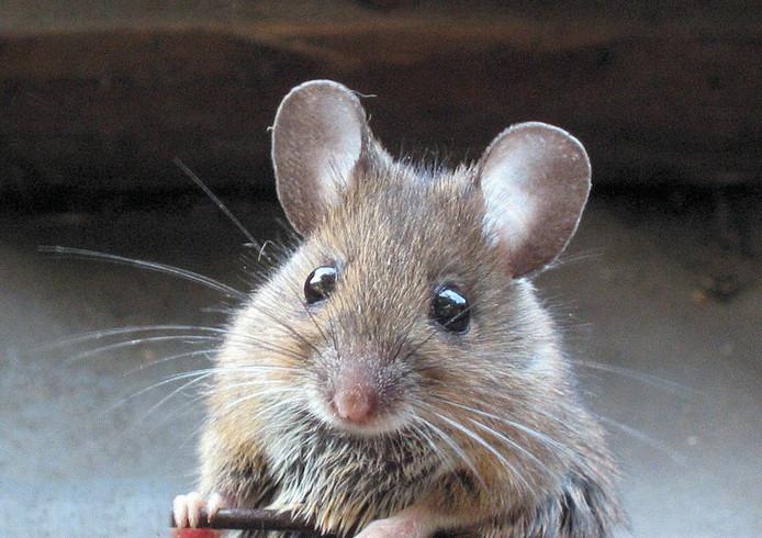 Uitzonderlijk Zo hou je muizen deze winter buiten de deur   Zeeuws nieuws   pzc.nl KD68