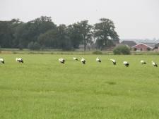 Bijzonder! 26 Ooievaars in weiland bij Zuna