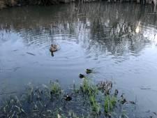 GroenLinks vraagt opheldering: Werden eendjes in Ootmarsum nu vermoord of niet?