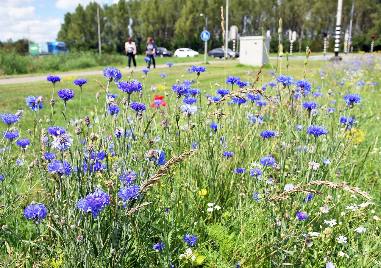 Een bloemenzee in de bermen (hier bij Sint Jansteen) waar Hulst vorig jaar wilde bloemen zaaide