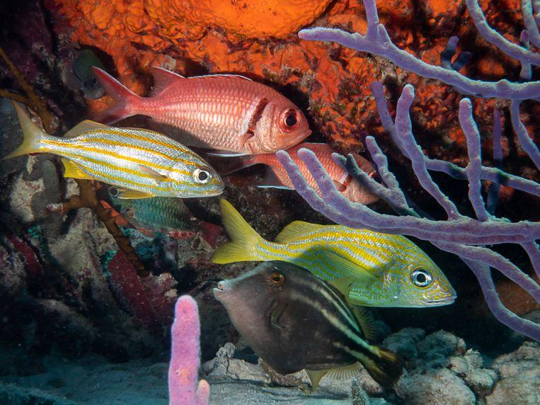 Onderzoekers telden 165 soorten vis bij Bonaire. Beeld Floris Bennema
