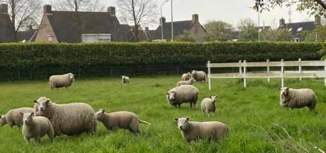 Tiny houses moeten op schapenweitje in Moergestel de weg banen voor dure huizen