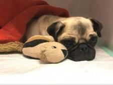 Baasje gewonde mopshond Lola wordt ernstig bedreigd