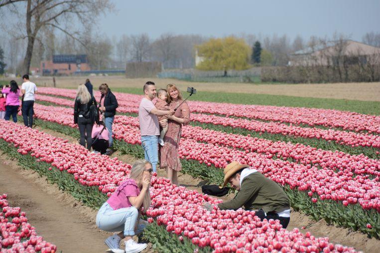 De laatste tijd trekken heel wat 'tulpentoeristen' naar de velden van Pieter Suy voor niet meer dan een foto, en soms ook een bloem.