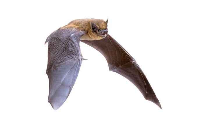 Dwergvleermuis (Pipistrellus pipistrellus)