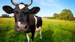 """'De koe bij de horens vatten' mag niet meer van PETA: """"Dieronvriendelijk"""""""