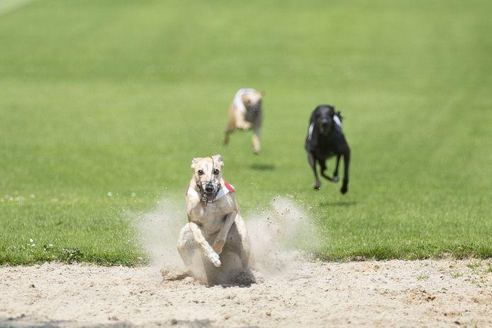 Voor deze actiebeelden moeten liefhebbers van windhondenrennen wachten tot zaterdag 29 augustus. Dan krijgt de strijd om de Rijssen Cup een nieuwe kans.