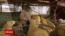 Deze Duitse schapenboer vertelt in een uitzending van de Duitse omroep WDR dat hij hoopt dat de 'probleemwolf' naar elders is getrokken.