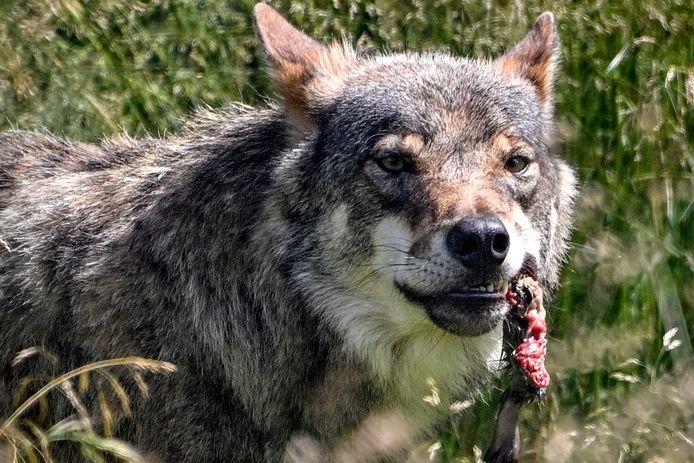 Voor schapenhouders Christian en Nico Kalter is de wolf een ongenode gast in het land.
