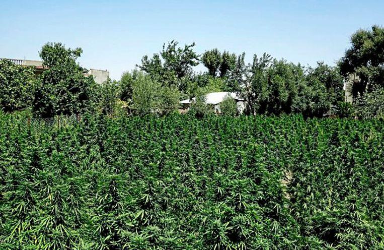 De tuin van de familie Es Satty in Marokko staat vol cannabisplanten. Beeld RV