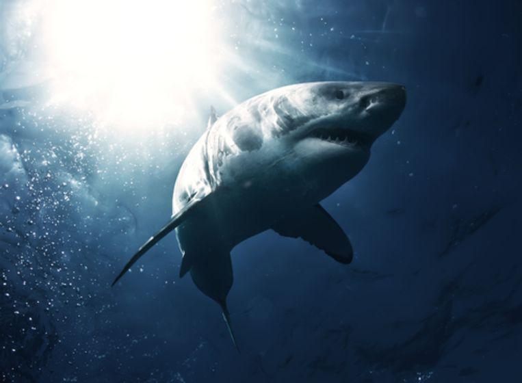 Le grand requin blanc.