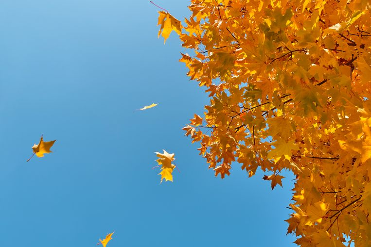 A sprig of maple with Yellow Autumn Leaves, against a blue sky. Beeld Getty Images