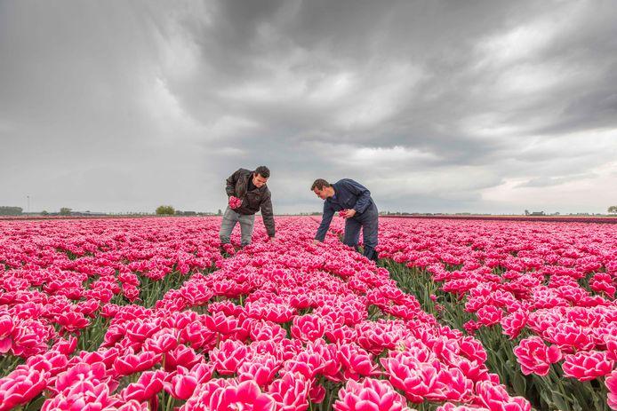 Voor de regenbui losbarstte waren broers Simon (rechts) en Jacco de Jong donderdag nog druk bezig om slechte exemplaren uit de akker met Columbus-tulpen aan de Duivekeetseweg bij Oud-Vossemeer te halen.