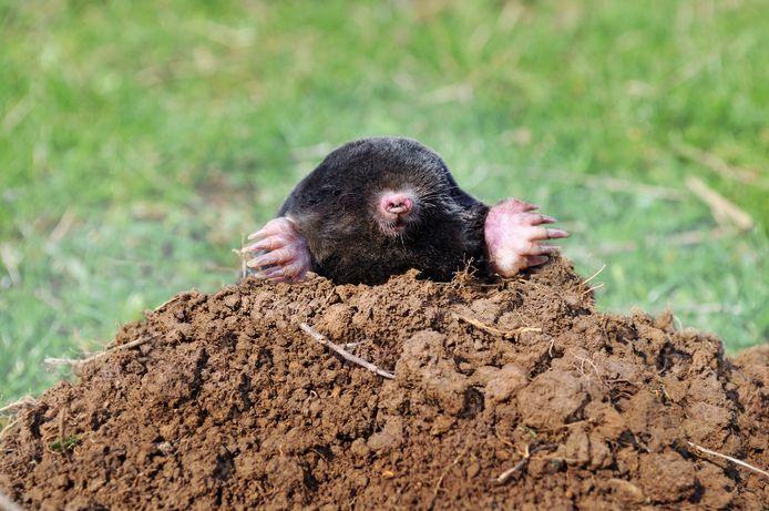 Deze mol moest eens weten hoe blij archeologen met hem zijn.