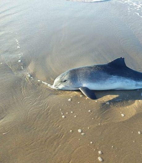 Aangespoelde bruinvis overleden op strand van Kijkduin: 'Doodsoorzaak wordt nog onderzocht'