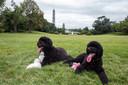 Bo (L) met zijn nieuwe huisgenoot Sunny (R) op het gazon bij het Witte Huis, op 19 augustus 2013.