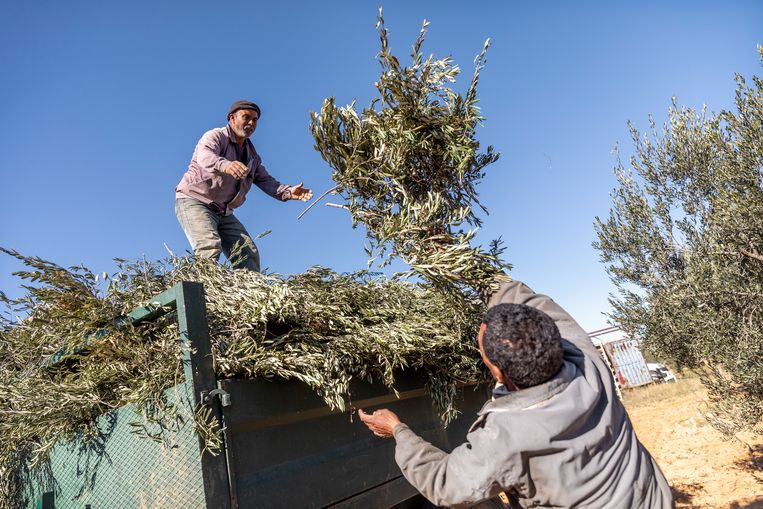 Werknemers snoeien olijfbomen in Tunesië. Beeld Sven Torfinn