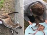 Vrouw redt babykangoeroe uit buidel dode moeder
