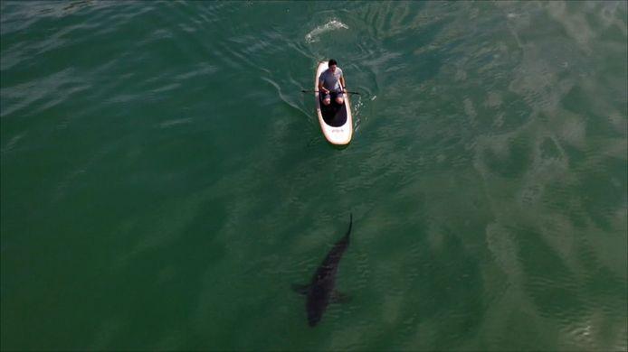 Witte haai die vlak onder een surfer zwemt.