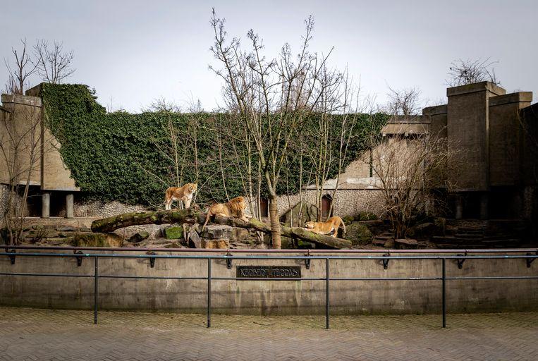 De leeuwen van Artis in hun verouderde verblijf. Beeld Hollandse Hoogte /  ANP