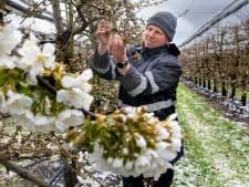 Sneeuw op de fruitbloesem, maar perenkweker Oostveen is niet in paniek
