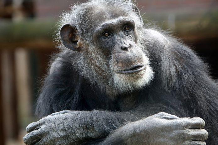 Mike, één van de doodgeschoten chimpansees