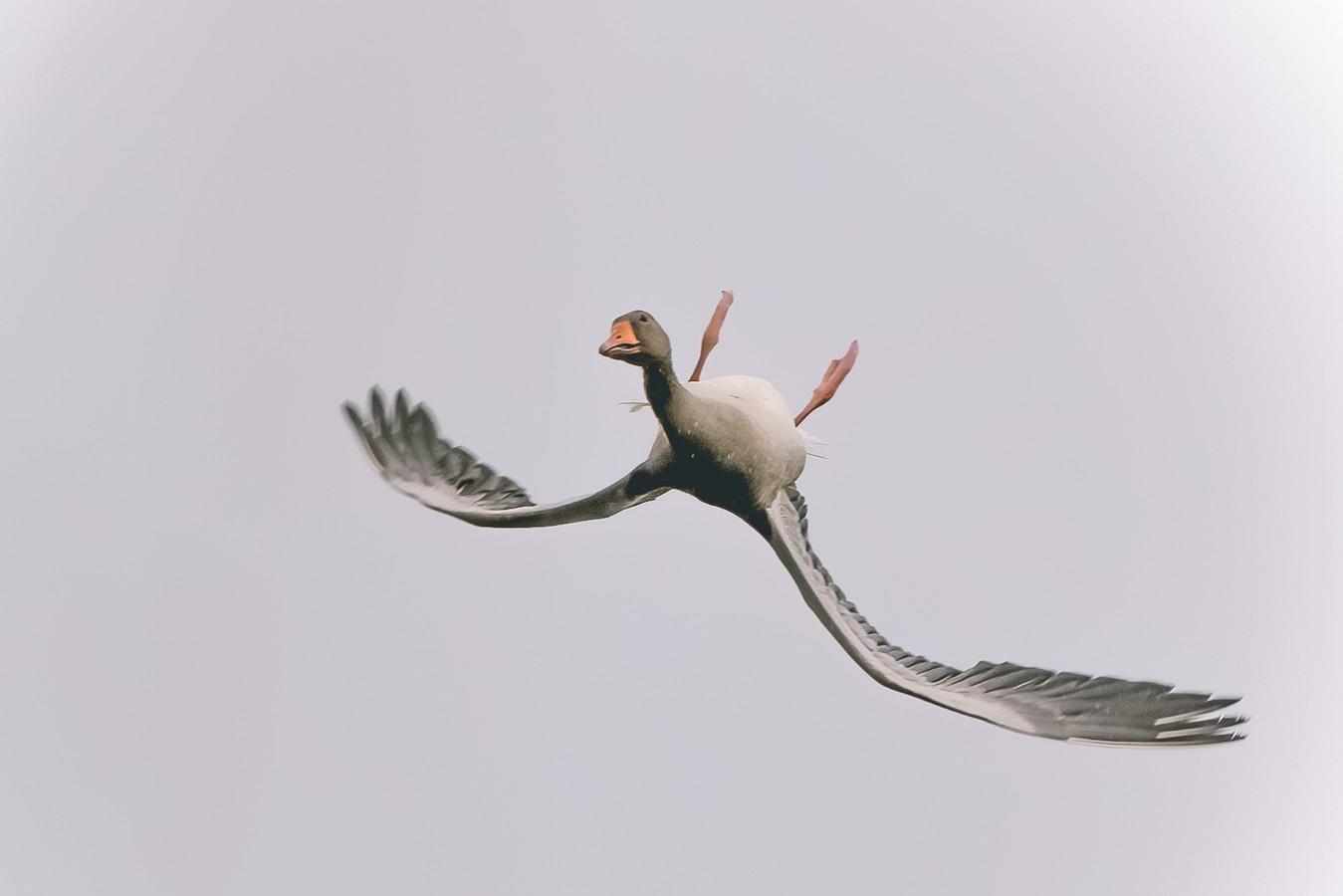 De gans vliegt ondersteboven.