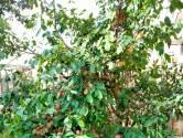 Roelinka wordt bedolven onder de pruimen: 'Eet niet alles zelf op. Het werkt laxerend'