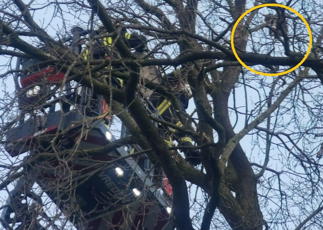 De brandweervrijwilligers bij hun benadering van de kat in de boom.