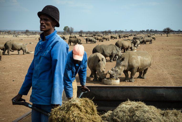 Werknemers van John Hume voederen neushoorns in een van de voederzones op Humes 8400 hectare land.  Beeld Bram Lammers