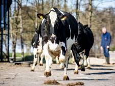 De tientallen koeien van boer Cees zijn door het dolle heen: ze mogen weer de wei in