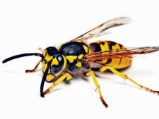 Dit is waarom we zoveel last hebben van wespen (en het ergste moet nog komen)