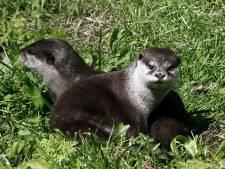 Otters in De Ronde Venen kunnen voortaan veilig drukke wegen oversteken door speciale route