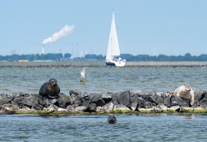 Zeehonden in het Grevelingenmeer