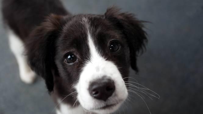 Politie slaat alarm over toenemend aantal hondendiefstallen