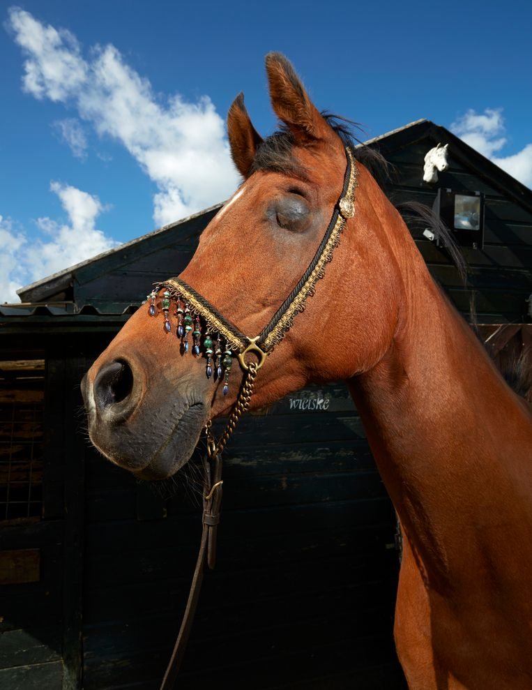 G.B. Habibi (21), Arabisch volbloedpaard, Oostzaan. Beeld Isabella Rozendaal