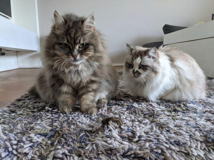 Yasmine (links) en Georgi Kluni, twee Siberische katten.