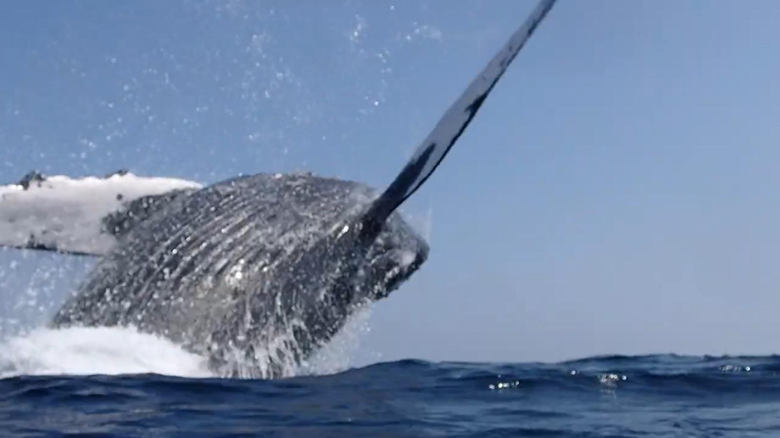 Deux plongeurs manquent de peu de se faire écraser par une baleine.